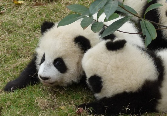 Pandas da China