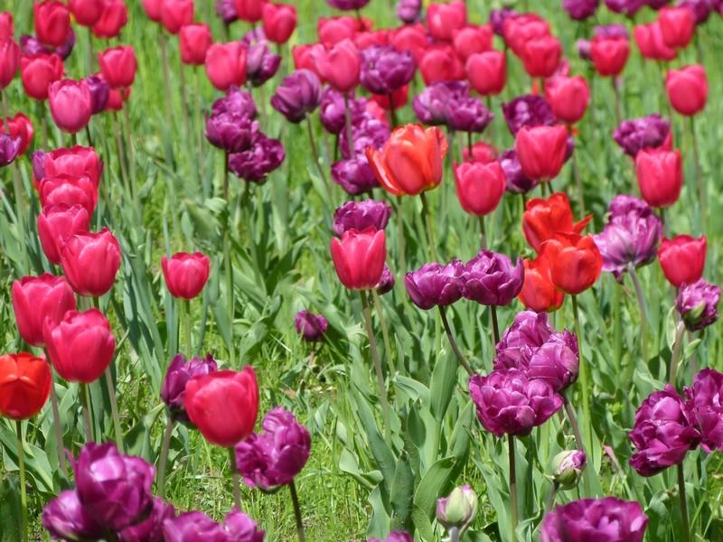Berlim durante o Tulipan
