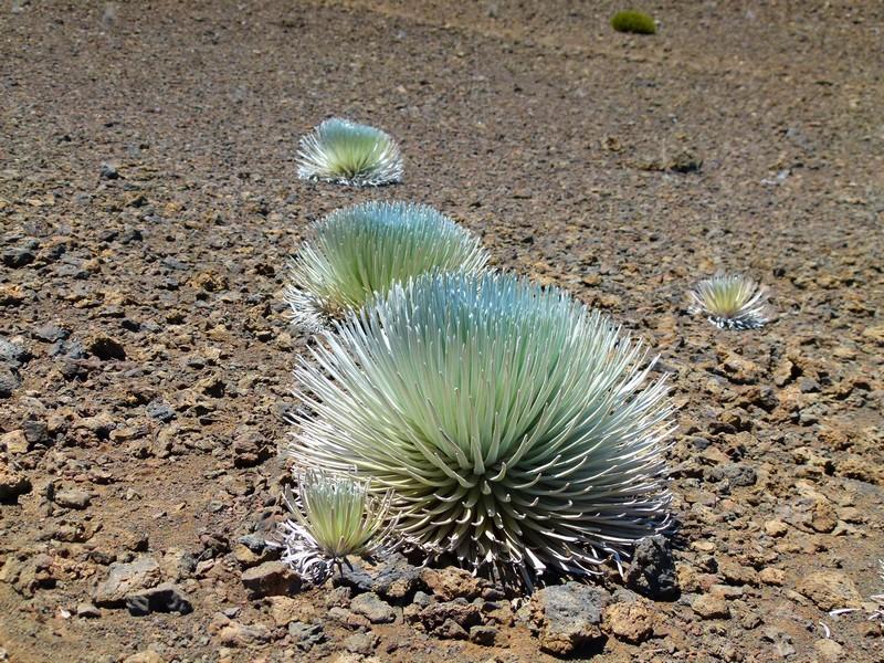 Vegetação exclusiva do Haleakala