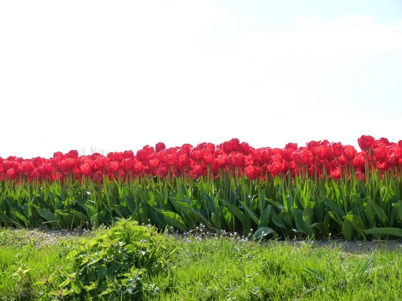 parque de tulipas na holanda keukenhof